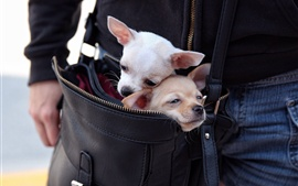 Preview wallpaper Chihuahua dogs in a bag