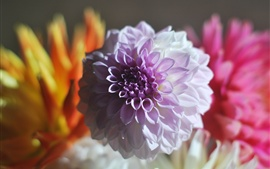 Preview wallpaper Dahlia, purple and pink petals