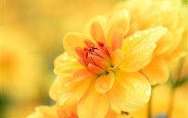Preview wallpaper Dahlia yellow flowers, water drops