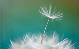 Dandelion flower macro photography, blurry background