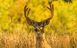 Cervo na grama, outono