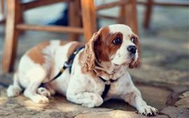 Descansa cão, olha, cadeira