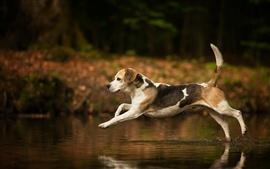 Cão correndo na água
