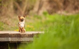 Cão, ponte de madeira, fundo verde