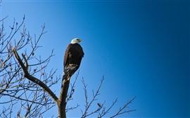 미리보기 배경 화면 독수리, 새, 푸른 하늘