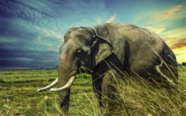 Elephant walk in grass