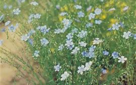 Preview wallpaper Flower field, little blue flowers