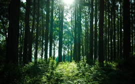 Preview wallpaper Forest, trees, sun rays, green
