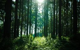 Лес, деревья, солнечные лучи, зеленый