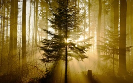 Bosque, árboles, rayos de sol, naturaleza