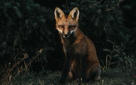 Fox se sente na grama, escuridão