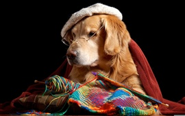 Funny dog, retriever, glasses, hat, knitting