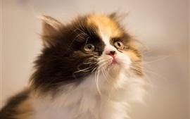 Aperçu fond d'écran Furry kitty chercher