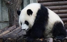 Пушистая панда, прекрасная