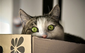 Preview wallpaper Green eyes cat look, box
