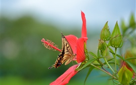 Preview wallpaper Hibiscus, red flower, butterfly, swallowtail