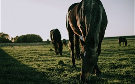 Preview wallpaper Horses eat grass, feeding