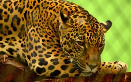 Preview wallpaper Jaguar rest, zoo