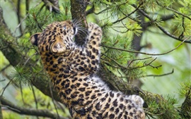 Preview wallpaper Leopard cub climbing tree
