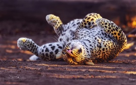 Leopard, lazy waist, ground