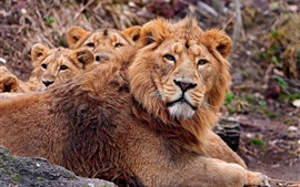 Lion and cubs, family