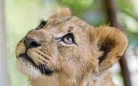 Preview wallpaper Lion look up, head, face