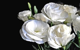 Lisianthus white flowers