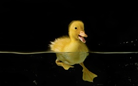 Preview wallpaper Lonely duckling, water, black background
