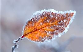 Hojas de naranja, escarcha, otoño