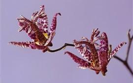Орхидея, лепестки, фиолетовые цветы, пятнистые