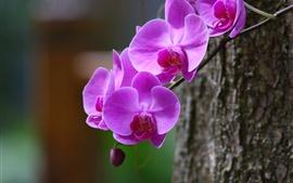 미리보기 배경 화면 난초, phalaenopsis, 자주색 꽃