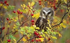 壁紙のプレビュー フクロウ、赤い果実、木