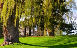Park, willow, trees, grass