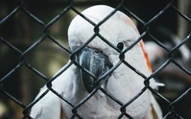 Parrot, bico, cerca
