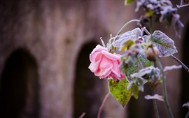 Pink rose, frost, cold