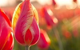 Aperçu fond d'écran Tulipe rose, fleurs, rétro-éclairage