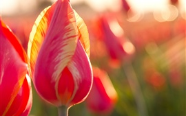 Pink tulip, flowers, backlight