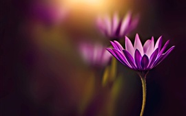 Purple flower, bokeh, glare