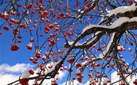 Árbol de bayas rojas, invierno, nieve