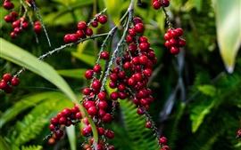 预览壁纸 红色浆果,树枝,水果