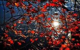 Красные листья, ветки, солнце, блики, осень