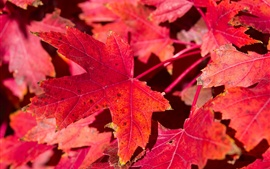 Preview wallpaper Red maple leaves, nature, autumn