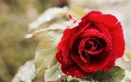 Rosa roja, gotas de agua, hojas