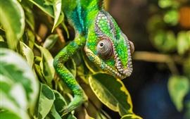 Réptil, lagarto camaleão