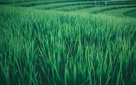 Rice field, green leaves