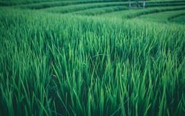 미리보기 배경 화면 논밭, 녹색 잎