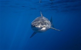 Preview wallpaper Sea animal, shark, underwater, blue