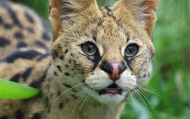 Serval, chat sauvage, visage, yeux