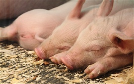 Preview wallpaper Sleeping pigs