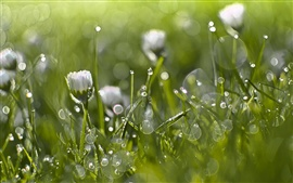 Весна, трава, белые цветы, роса